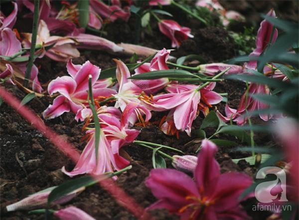 Hà Nội: Nông dân Tây Tựu phát khóc vì hoa ly nở sớm, rụng đỏ ruộng trước Tết - Ảnh 4.