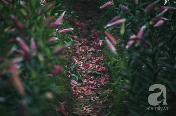 Hà Nội: Nông dân Tây Tựu phát khóc vì hoa ly nở sớm, rụng đỏ ruộng trước Tết - Ảnh 7.