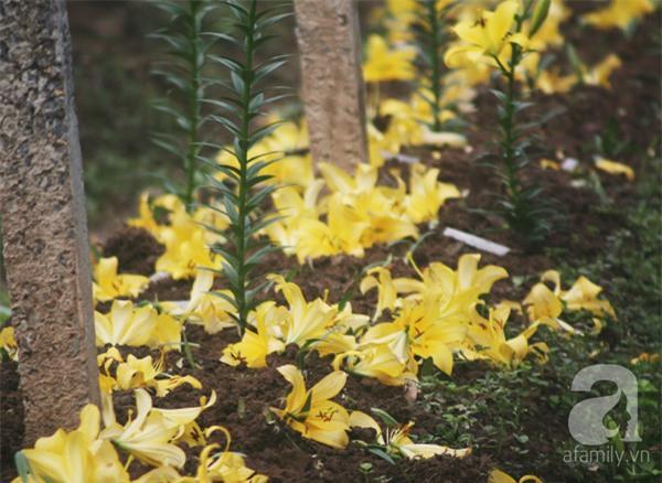 Hà Nội: Nông dân Tây Tựu phát khóc vì hoa ly nở sớm, rụng đỏ ruộng trước Tết - Ảnh 9.