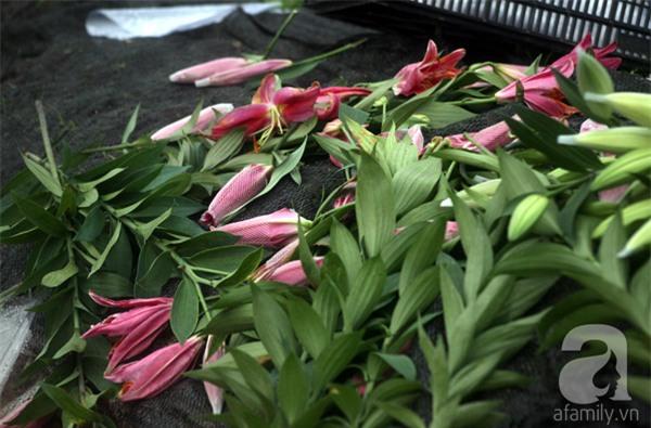 Hà Nội: Nông dân Tây Tựu phát khóc vì hoa ly nở sớm, rụng đỏ ruộng trước Tết - Ảnh 12.