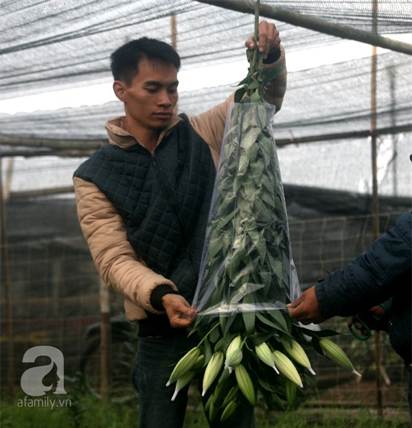 Hà Nội: Nông dân Tây Tựu phát khóc vì hoa ly nở sớm, rụng đỏ ruộng trước Tết - Ảnh 14.