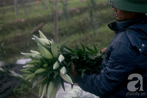 Hà Nội: Nông dân Tây Tựu phát khóc vì hoa ly nở sớm, rụng đỏ ruộng trước Tết - Ảnh 15.