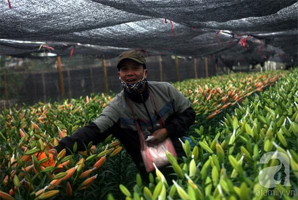 Hà Nội: Nông dân Tây Tựu phát khóc vì hoa ly nở sớm, rụng đỏ ruộng trước Tết - Ảnh 16.