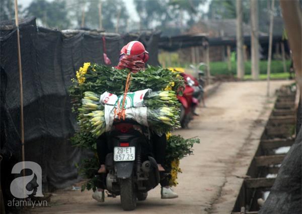Hà Nội: Nông dân Tây Tựu phát khóc vì hoa ly nở sớm, rụng đỏ ruộng trước Tết - Ảnh 17.