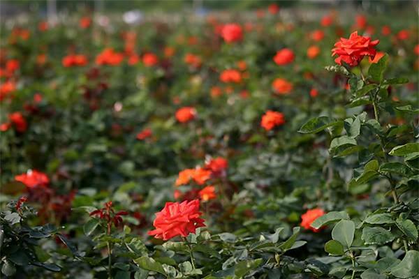 4 làng hoa đẹp long lanh ngay ven Hà Nội nên ghé đến để cảm nhận rõ vị Xuân - Ảnh 10.