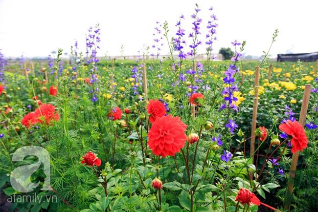 4 làng hoa đẹp long lanh ngay ven Hà Nội nên ghé đến để cảm nhận rõ vị Xuân - Ảnh 2.