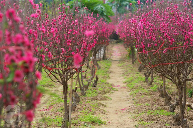 4 làng hoa đẹp long lanh ngay ven Hà Nội nên ghé đến để cảm nhận rõ vị Xuân - Ảnh 6.