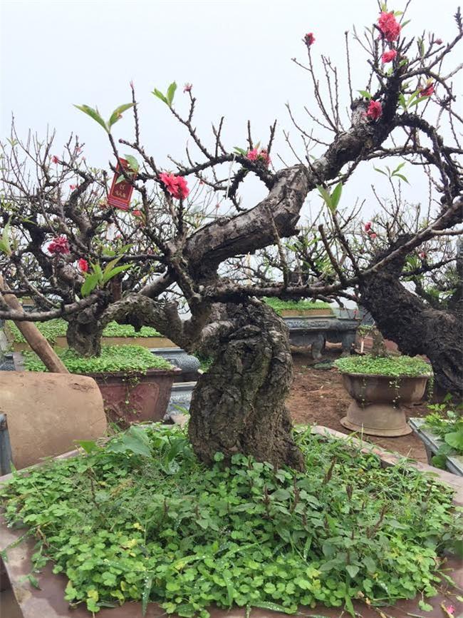 Đào 2 gang tay mạo danh đào thất thốn: Hàng Tàu hại hoa Việt
