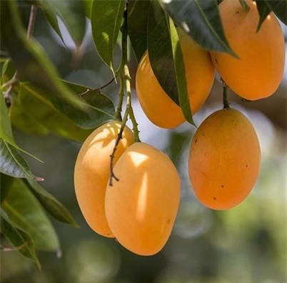 Vì sợ nóng, nhiều phụ nữ đã bỏ qua công dụng của trái xoài - Ảnh 2.