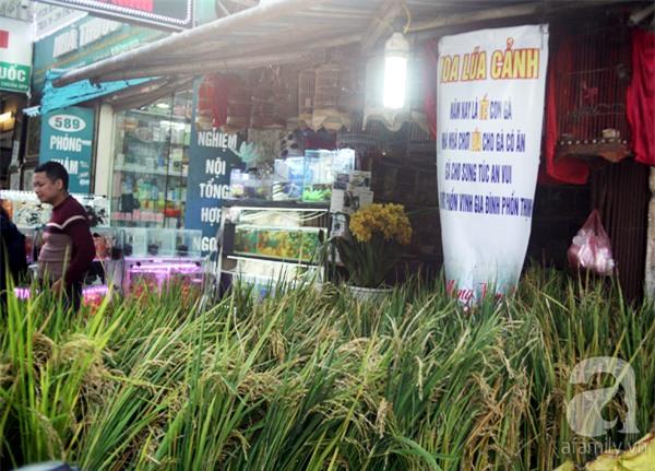Hà Nội: Chán đào quất, nông dân mang ngô, lúa làm cây cảnh bán Tết với ý nghĩa ấm no - Ảnh 1.