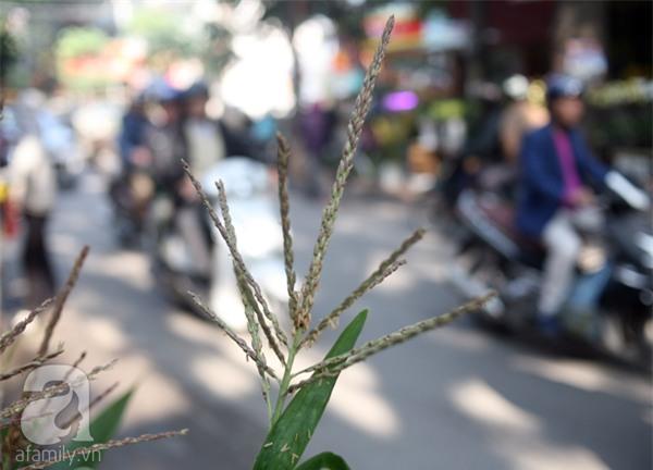 Hà Nội: Chán đào quất, nông dân mang ngô, lúa làm cây cảnh bán Tết với ý nghĩa ấm no - Ảnh 12.