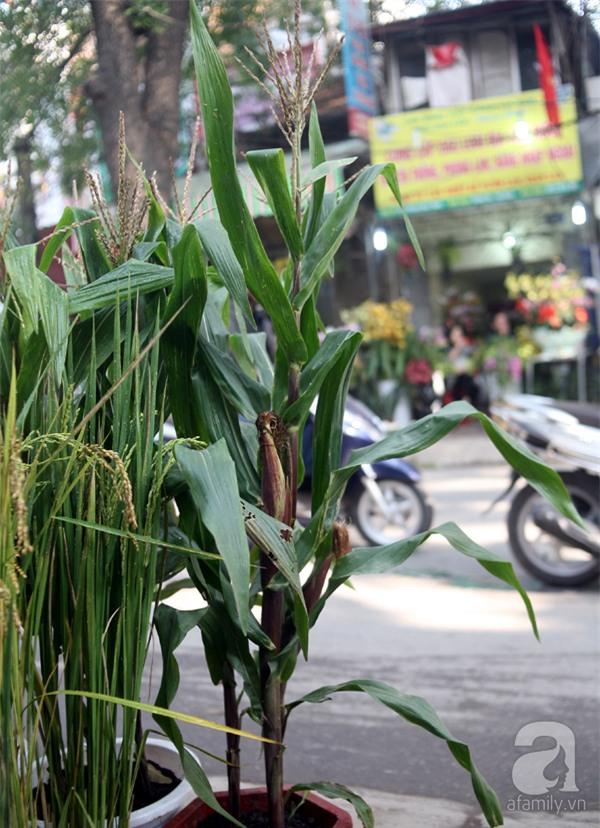 Hà Nội: Chán đào quất, nông dân mang ngô, lúa làm cây cảnh bán Tết với ý nghĩa ấm no - Ảnh 13.