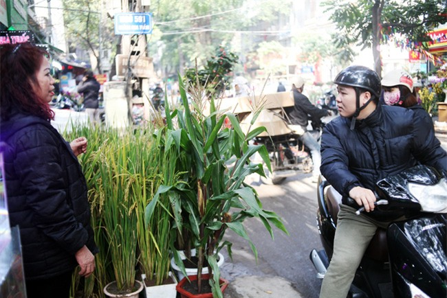 Hà Nội: Chán đào quất, nông dân mang ngô, lúa làm cây cảnh bán Tết với ý nghĩa ấm no - Ảnh 14.
