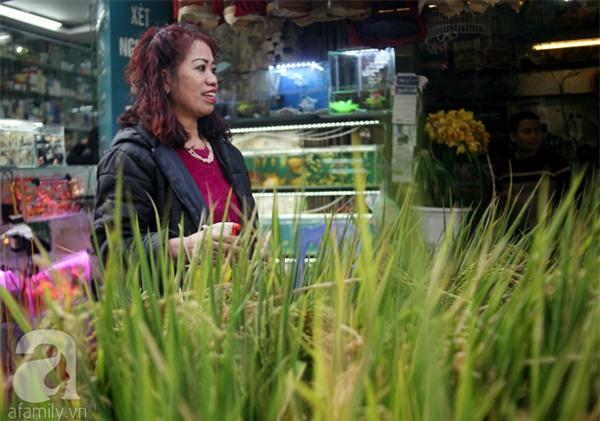 Hà Nội: Chán đào quất, nông dân mang ngô, lúa làm cây cảnh bán Tết với ý nghĩa ấm no - Ảnh 2.