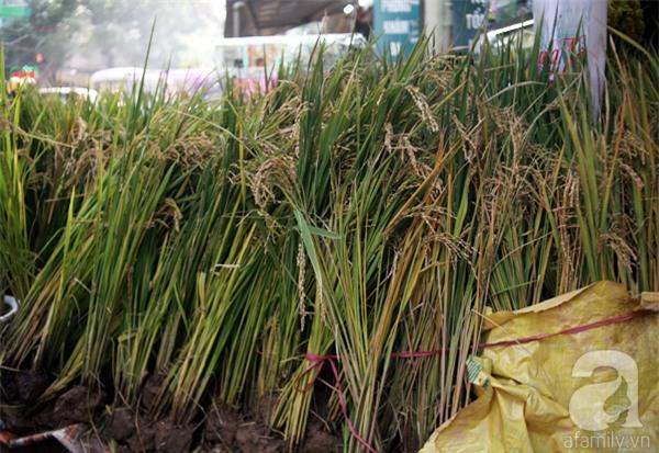 Hà Nội: Chán đào quất, nông dân mang ngô, lúa làm cây cảnh bán Tết với ý nghĩa ấm no - Ảnh 3.
