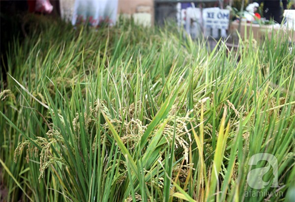 Hà Nội: Chán đào quất, nông dân mang ngô, lúa làm cây cảnh bán Tết với ý nghĩa ấm no - Ảnh 6.