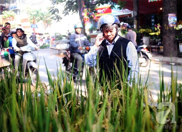 Hà Nội: Chán đào quất, nông dân mang ngô, lúa làm cây cảnh bán Tết với ý nghĩa ấm no - Ảnh 8.