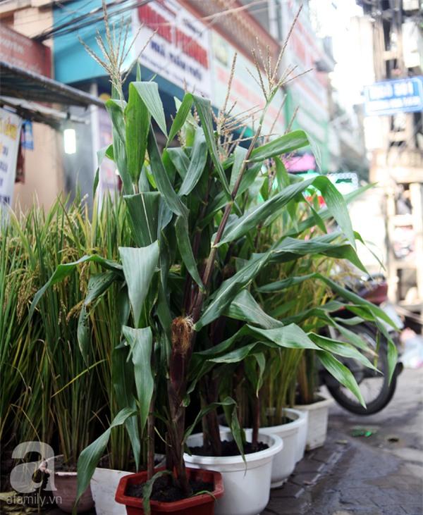 Hà Nội: Chán đào quất, nông dân mang ngô, lúa làm cây cảnh bán Tết với ý nghĩa ấm no - Ảnh 9.
