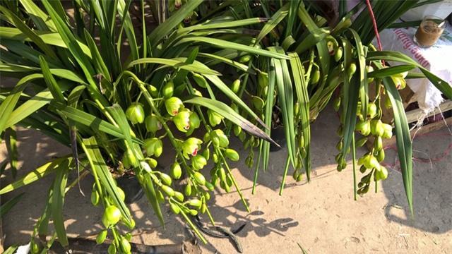 Các loại hoa địa lan có xuất xứ Trung Quốc có mẫu mã không khác gì hoa địa lan được trồng tại Việt Nam