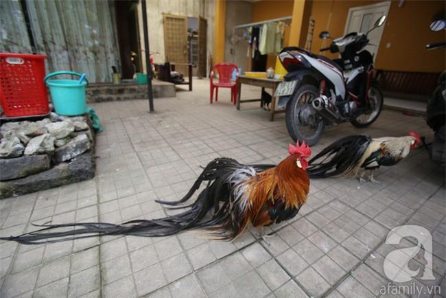 Đầu năm Dậu, cận cảnh những chú gà độc đáo, giá siêu đắt được săn lùng trong Tết này - Ảnh 10.