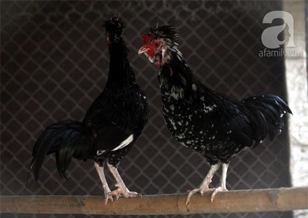 Đầu năm Dậu, cận cảnh những chú gà độc đáo, giá siêu đắt được săn lùng trong Tết này - Ảnh 15.