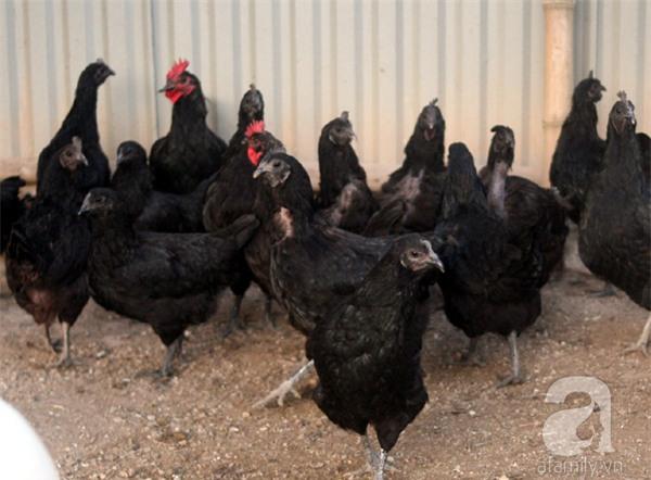 Đầu năm Dậu, cận cảnh những chú gà độc đáo, giá siêu đắt được săn lùng trong Tết này - Ảnh 21.