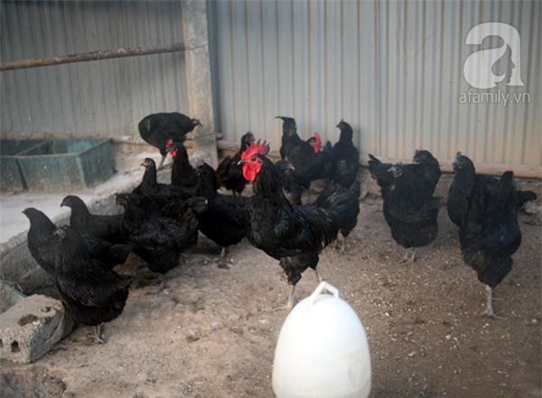 Đầu năm Dậu, cận cảnh những chú gà độc đáo, giá siêu đắt được săn lùng trong Tết này - Ảnh 22.