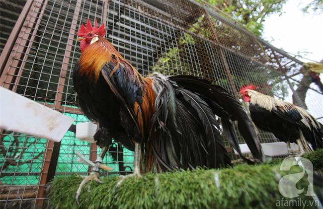 Đầu năm Dậu, cận cảnh những chú gà độc đáo, giá siêu đắt được săn lùng trong Tết này - Ảnh 7.
