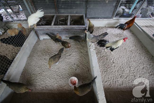 Đầu năm Dậu, cận cảnh những chú gà độc đáo, giá siêu đắt được săn lùng trong Tết này - Ảnh 8.