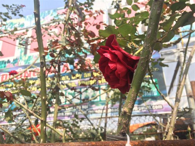 Bông hoa hồng cổ to và đỏ mượt như nhung