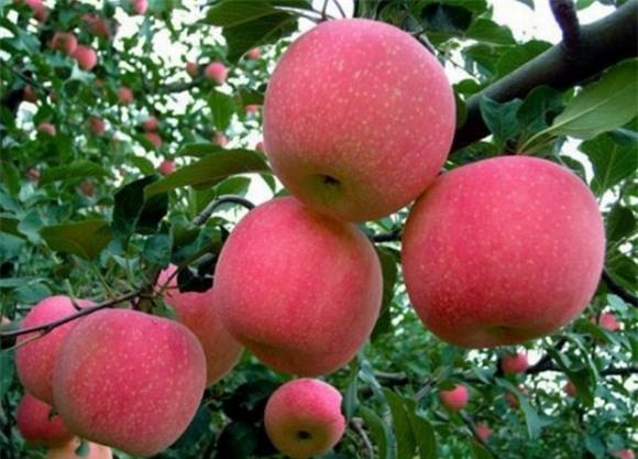 chống ung thư vú, quả cam, chanh, đu đủ, măng cụt, khoai lang, mận, táo,