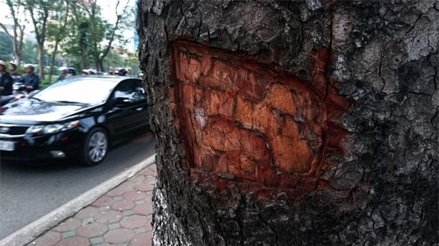 Hàng loạt cây xà cừ cổ thụ tại đường Láng bị đẽo lấy lớp vỏ bên ngoài, lộ phần gỗ bên trong.