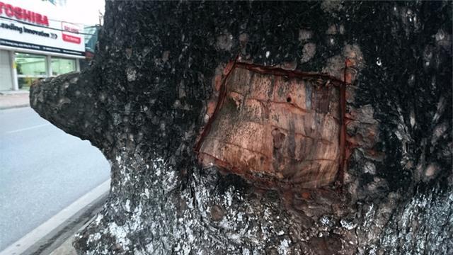 Người dân cho biết có một số người đẽo vỏ cây về chữa bệnh chứ không phải hành vi cố tình phá hoại cây.