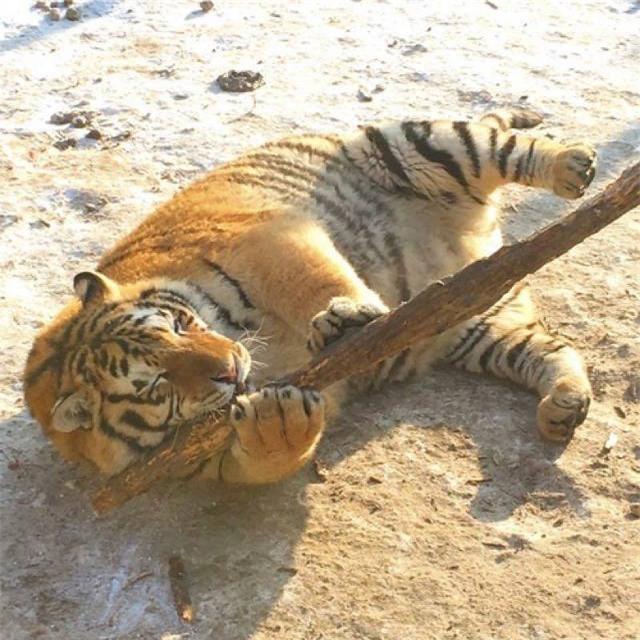 Sau Tết, không chỉ có các cô gái khốn khổ mà những chú hổ cũng béo núng nính vì ăn nhiều - Ảnh 2.
