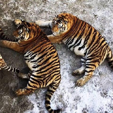 Sau Tết, không chỉ có các cô gái khốn khổ mà những chú hổ cũng béo núng nính vì ăn nhiều - Ảnh 4.