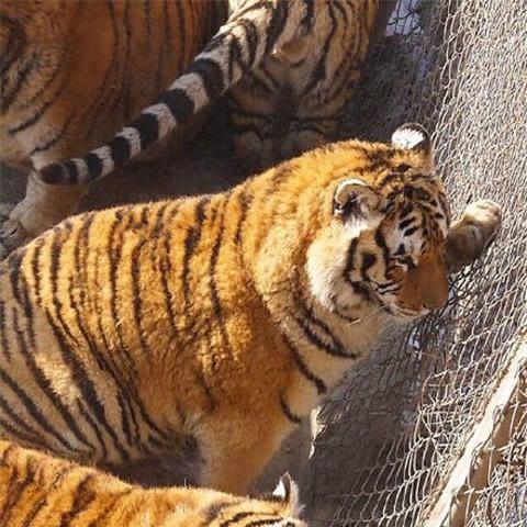 Sau Tết, không chỉ có các cô gái khốn khổ mà những chú hổ cũng béo núng nính vì ăn nhiều - Ảnh 6.