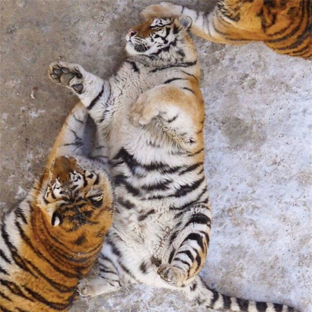 Sau Tết, không chỉ có các cô gái khốn khổ mà những chú hổ cũng béo núng nính vì ăn nhiều - Ảnh 8.