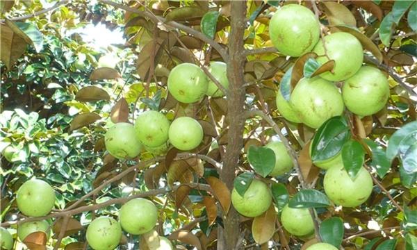 Thiên nhiên đã ban tặng cho nước ta một loại trái cây quá tuyệt vời phải không. (Ảnh: Internet)
