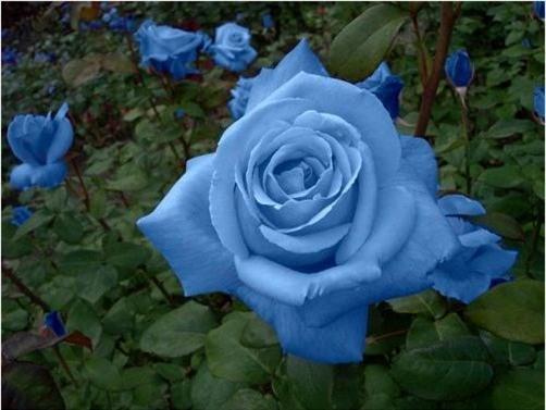 Trồng hoa Hồng xanh có thể gieo hạt hoặc trồng gốc đều được. Ảnh minh họa
