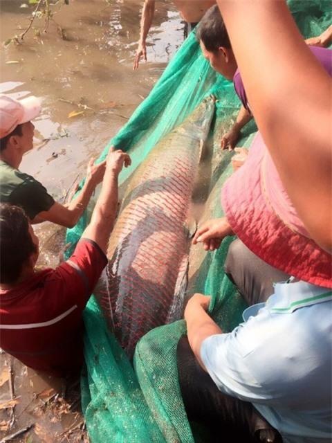 Cá hải tượng nặng hơn 100 kg anh Điệp bắt được trên kênh.