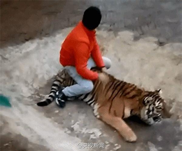Clip: Nam thanh niên đùa giỡn với hổ, dư luận sục sôi phản ứng - Ảnh 3.