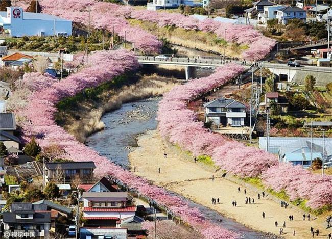 8.000 cây anh đào nở rộ ở Nhật - Ảnh 1.
