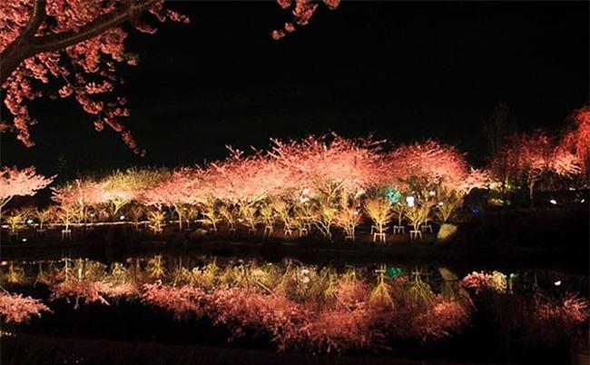 8.000 cây anh đào nở rộ ở Nhật - Ảnh 10.