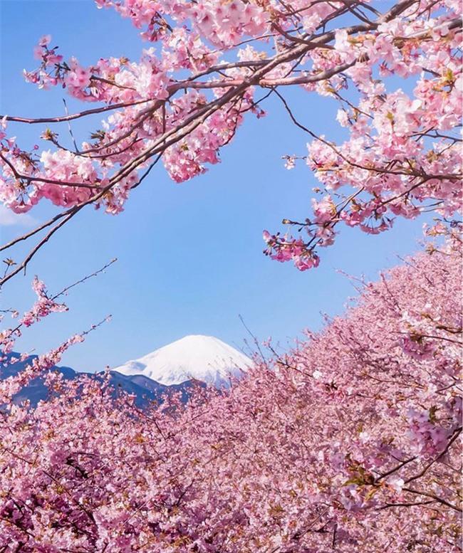 8.000 cây anh đào nở rộ ở Nhật - Ảnh 3.