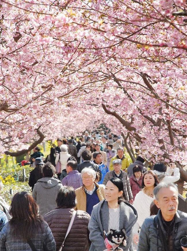 8.000 cây anh đào nở rộ ở Nhật - Ảnh 4.