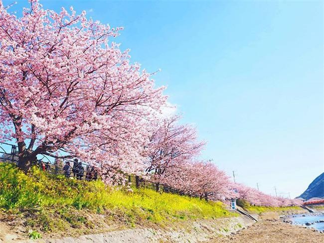 8.000 cây anh đào nở rộ ở Nhật - Ảnh 5.