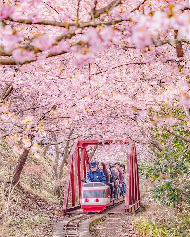 8.000 cây anh đào nở rộ ở Nhật - Ảnh 6.