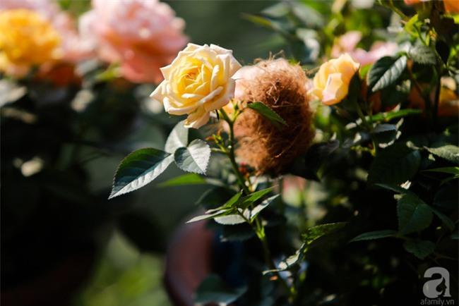 Lạc lối giữa vườn hồng rộng đến 5000m² của cô gái 9x ở Hà Nội - Ảnh 13.