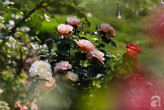 Lạc lối giữa vườn hồng rộng đến 5000m² của cô gái 9x ở Hà Nội - Ảnh 15.