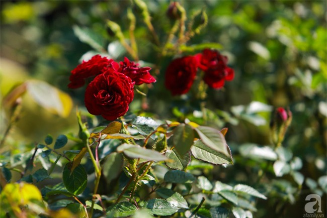 Lạc lối giữa vườn hồng rộng đến 5000m² của cô gái 9x ở Hà Nội - Ảnh 16.